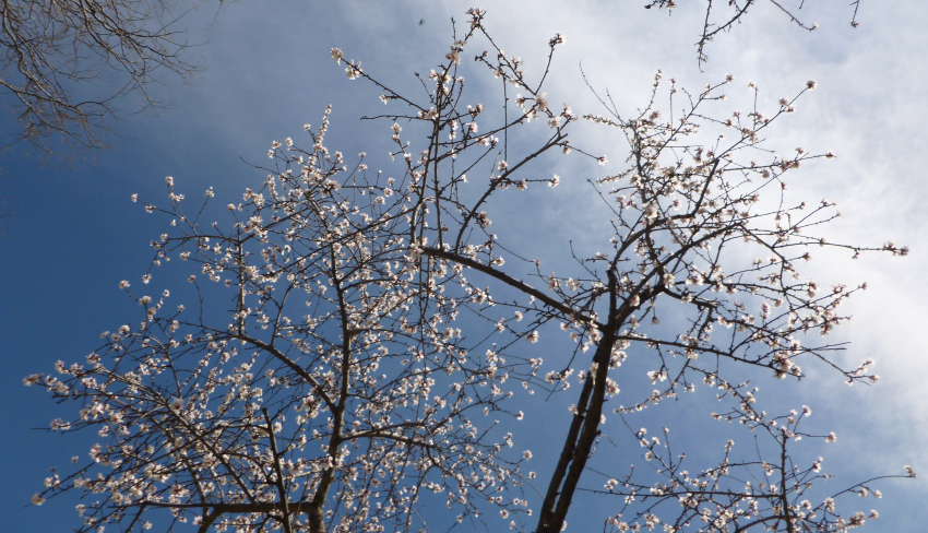 Sakura in blossom with blue sky