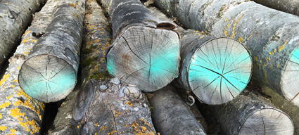picture of cut tree trunks