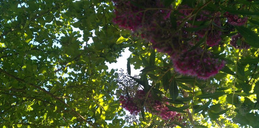 Focus on pink flower in a tree with green lighted foliage