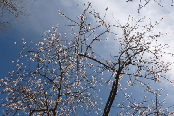 Sakura in blossom with blue sky