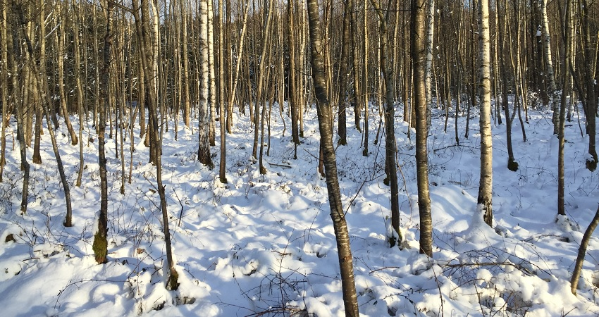 Trees_in_snow