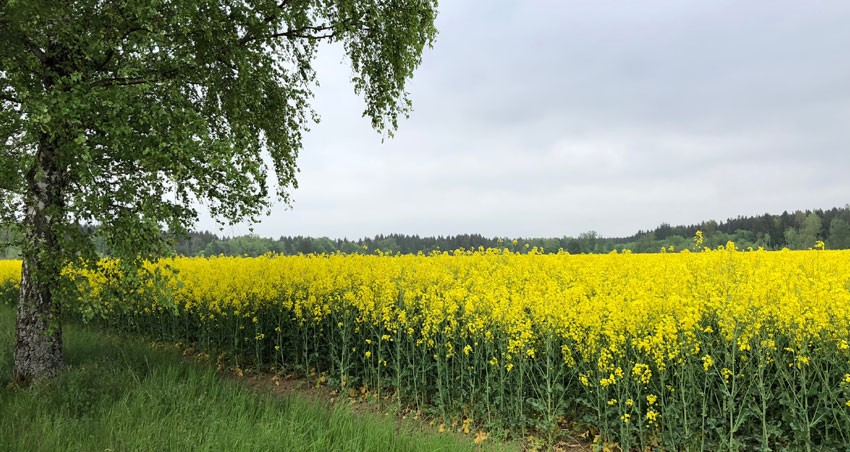 Focus on yellow rapeseed field